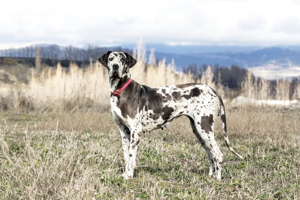 Dogue alemão (Great Dane)