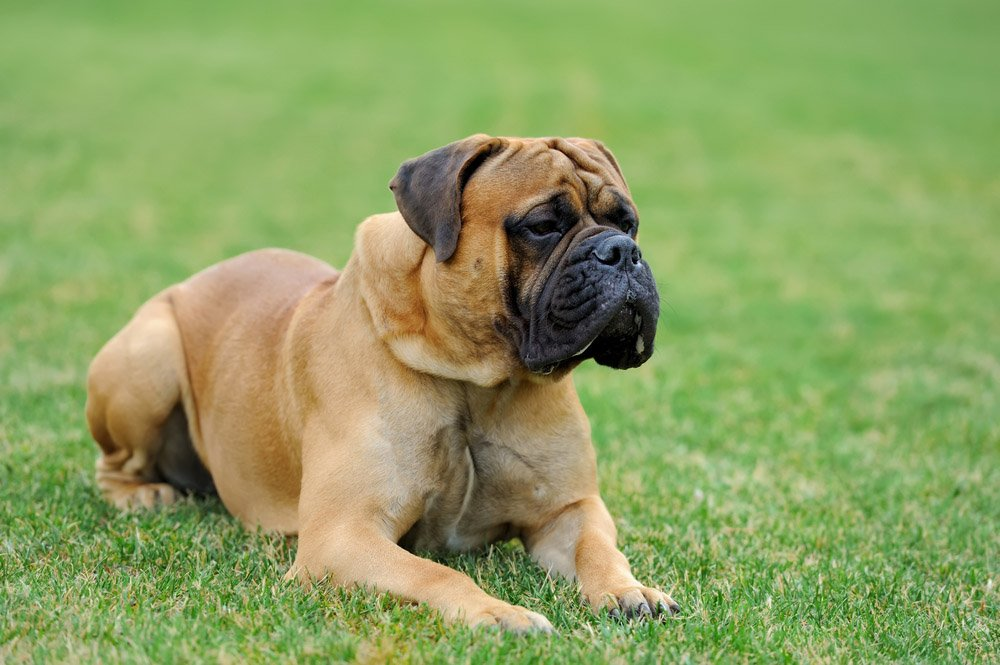 Mastim Inglês (English Mastiff)