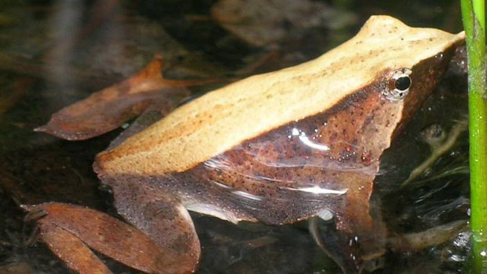 Chile Darwin's frog