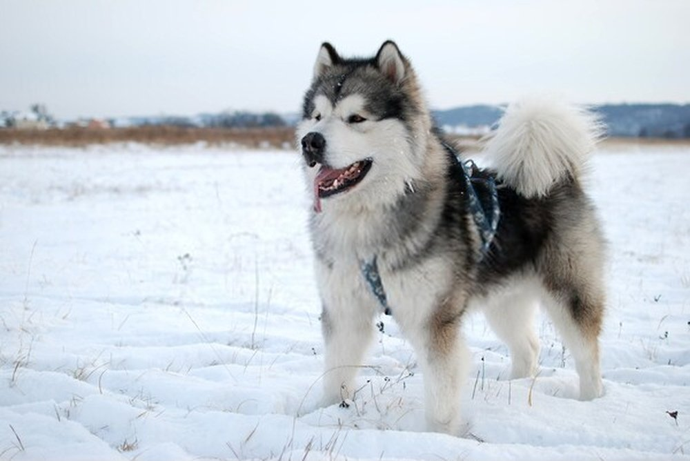 Malamutes do Alasca
